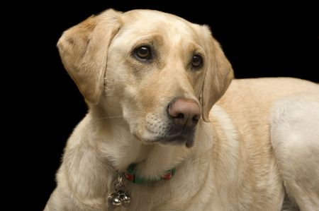A female White Labrador dog looking quizzically as it lays down isolated on black Stock Photo