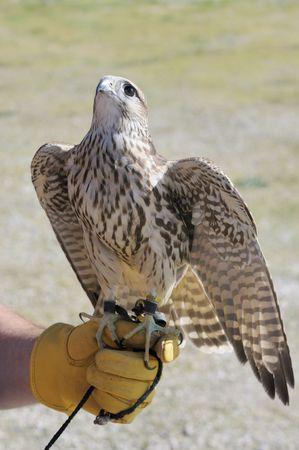 merlin falcon: MerlinGeofalcon cross sitting on the glove of a falconer