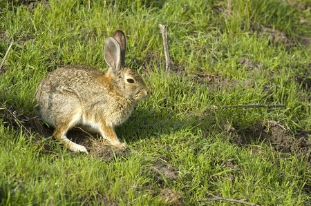 lagomorpha: rabbit sitting, sunny its self in the early morning dew