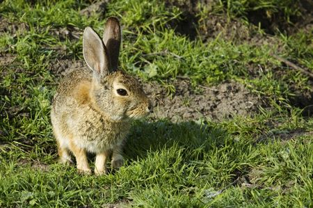 lagomorpha: rabbit sitting , sunning its self in the early morning sun with dew all around