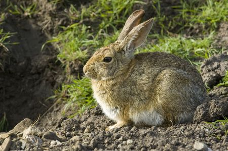 lagomorpha: rabbit sitting by it warren entrance watching for danger in the early morning Stock Photo