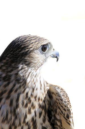 merlin falcon: Merlin geofalcon cross  isolated over white