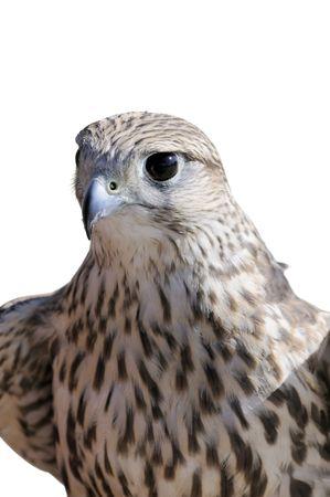 merlin falcon: MerlinGeofalcon crossbred sitting on the glove of a falconer