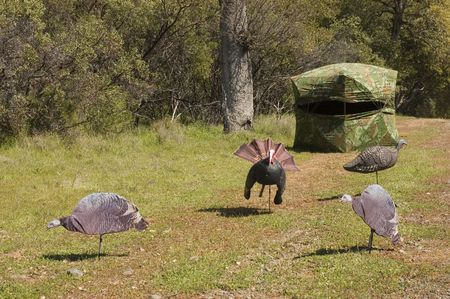 typical  turkey hunting blind with setup for turkeys using printed and 3D decoys
