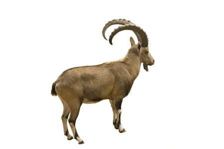 herbivore natural: Scimitar horned Ibex isolated on white background Stock Photo