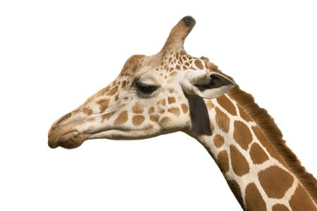 reticulata: Giraffe head in close up isolated on white Stock Photo