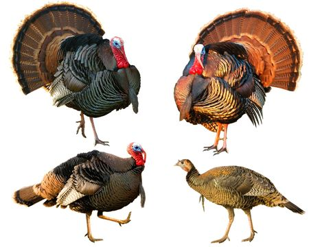 several Turkey Tom strutting their  stuff isolated on a white background