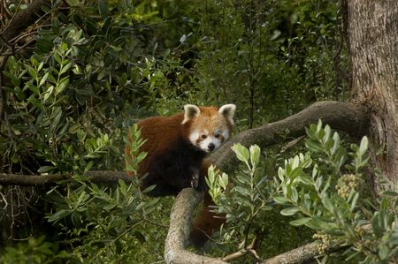 Red Panda (Ailurus fulgens) curled up in a tree photo
