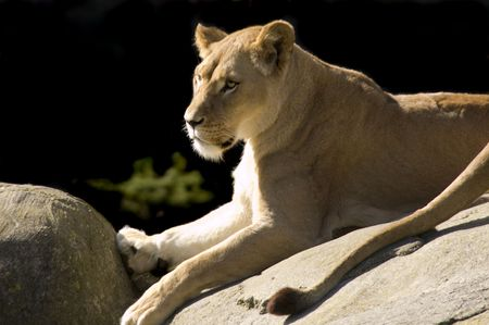 Lioness reclining and watching for game on rock outcrop Stock Photo - 3026418