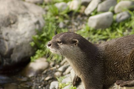 intent: Malasian shortclawed Otterr looking intent
