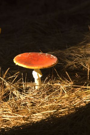 delirium: Amanita muscaria a variety of poisonous mushroom with hallucinogenic attributes