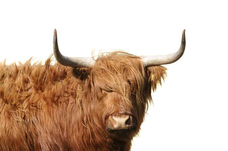 Highland cattle with wind blowing its long hair isolated Stock Photo