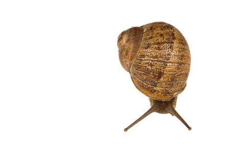 introduced: Caracol com�n de jard�n (una Gastropoda) Helix aspersa una de las especies introducidas de moluscos, no a los ind�genas de California isoalted en blanco