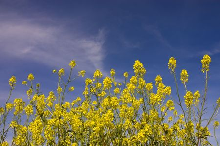 Field of mustard flowers in Livermore Valley, California - Brassica juncea, Brassica nigra