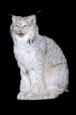 pelage: A Canadian Lynx in winter pelage