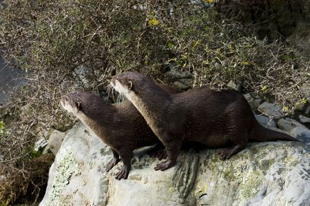 clawed: pair of Malasian short clawed Otters on a rock looking away
