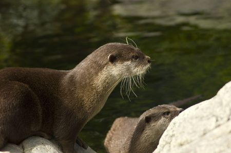 clawed: Malasian short clawed Otter Stock Photo