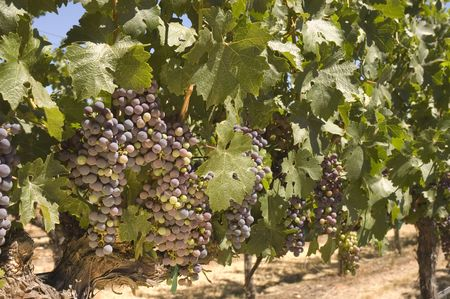 syrah: ripening red grapes on the vine in a vineyard in Napa Valley, California