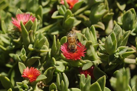 A drone bee gathering nectar from Red Apple flowers photo