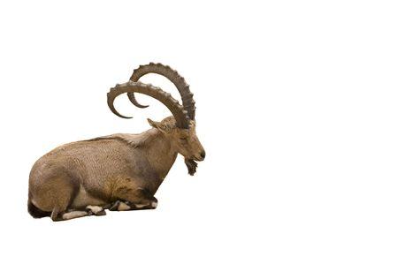 Scimitar Horned Ibex isoliert auf weißem Hintergrund