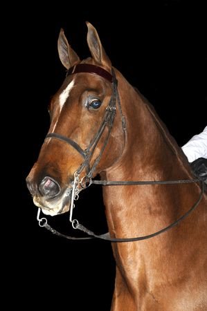 rein: Saddlebred horse in English livery