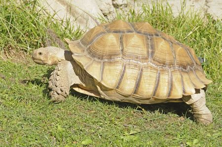 reptilia: African spiney tortoise Stock Photo