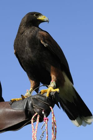 Harris hawk sitting on the glove of a handler over blue sky Stock Photo - 4227620