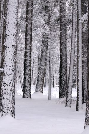 snow covered mysterious looking forest in Yosemite photo