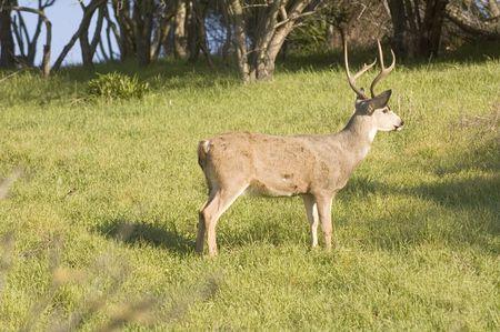 mammalia: California Blacktail buck watching intetly for danger