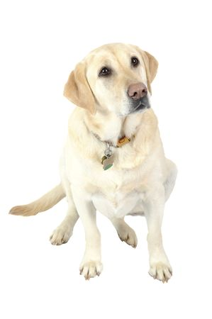 A female White Labrador dog looking quizzically as it lays down isolated on white Stock Photo - 4594186
