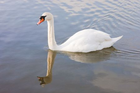 anseriformes: Male (Cob) swan (cygnus olor) reflected while swimming in a lake