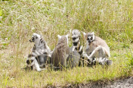 Ring-tailed Lemur family in the grass