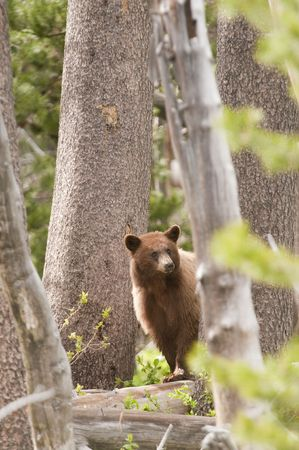 carnivora: American Black bear in Yosemite National Park  Stock Photo