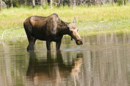 Cow moose feeding in a pond on submerged plants Banco de Imagens
