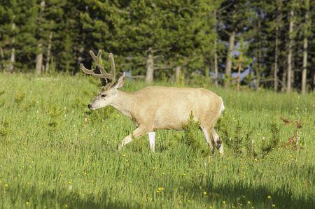Yellowstone mule deer buck tiptoeing across a meadow of wildflowers