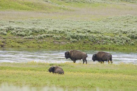 Yellowstone park: iconic buffalo beside the yellowstone river