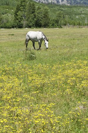 pretty horse in a beautiful meadow full of summer wildflowers in the mountains of Wyoming