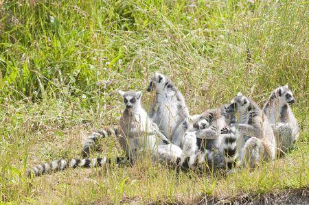 family of lemurs