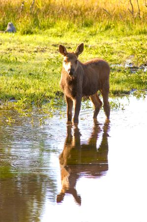 calf moose standing in the stream with reflection Imagens