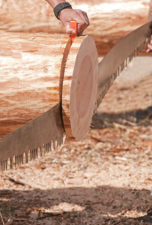 cut the competition: log cutting team using handsaw in competition nearing the final cut