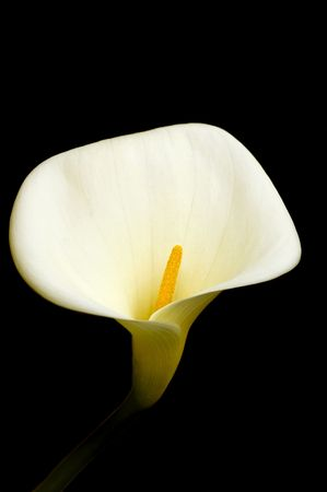 close up of a beautifully elegant White Calla lilly Stock Photo - 5903821
