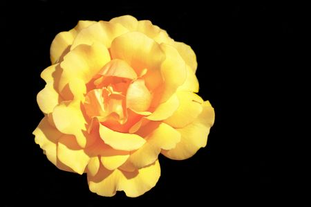 Yellow rose of the grandiflora variety on a black background
