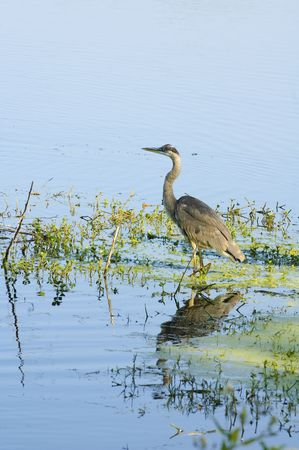 ciconiiformes: Blue heron reflected in a florida lake at sunrise