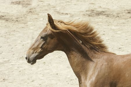 Young Saddlebred horse galloping past in the afternoon sun