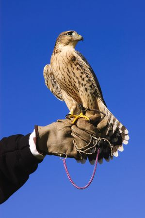 peregrine: Falconer with Peregrine Falcon crossbred with a Prarie Falcon and Gyrfalcon mix sitting on gloved hand of handler  Stock Photo