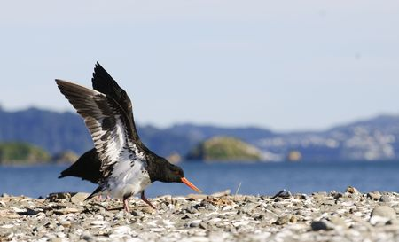 charadriiformes: South Island oytercatcher on the shore in New Zealand having just landed with wings outstretched.