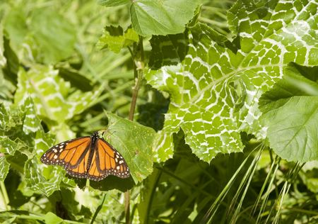 insecta: monarch butterfly resting on a leaf during the february migration through california
