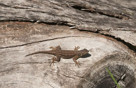Western Fence Lizard, sunning itself on a log Stock Photo - 6663607