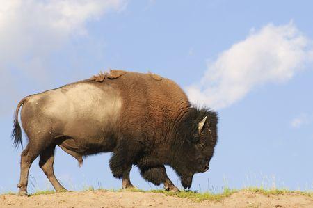 hoofed animal: Ic�nico American Buffalo skylined en el Parque Nacional de Yellowstone