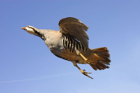 phasianidae: Taxidernmied Chukar (alectoris chukar) in flight against a blue sky